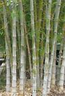 Dendrocalamus Bamboo Plants
