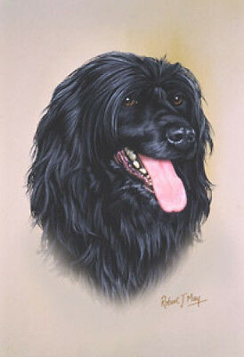 Robert J. May Head Study - Portuguese Water Dog (RMDH116)