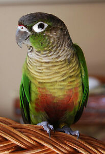 green cheek conure baby parrot for sale special price