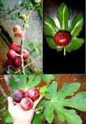 Fig Seeds