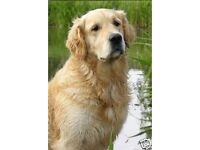 "by Starprint 4/"" x 6/"" Blank inside Christmas Card Golden Retriever Dog A6"