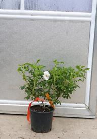 Climbing Rose Plants 🌿🌹🌷