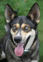 "Adult Female Dog - Siberian Husky: ""Skye"""