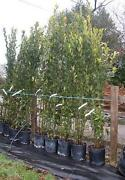 Laurel Trees