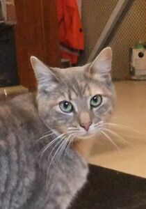 "Adult Female Cat - Tabby-Domestic Short Hair: ""Callie"""