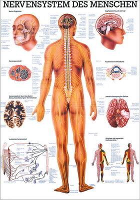 Nerven-system (NEU Lehrtafel, Lehrposter, Poster: Das Nervensystem laminiert)