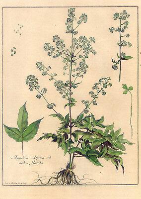 Angelica - Blume - Botanik - Kupferstich Robert-Chastillon 1680 selten-Pflanze