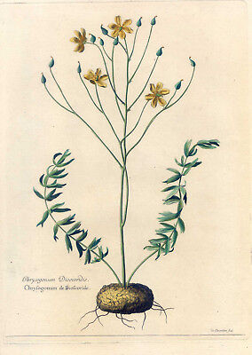 Chrysogonum - Blume-Botanik - Kupferstich Robert-Chastillon 1680 selten-Pflanze