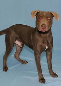 Young Male  - Weimaraner-Chocolate Labrador Retriever