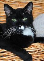 """Young Female Cat - Domestic Short Hair-black and white: """"Fancy"""" Gatineau Ottawa / Gatineau Area Preview"""