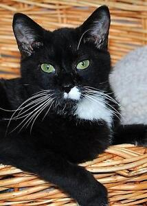 "Young Female Cat - Domestic Short Hair-black and white: ""Fancy"""