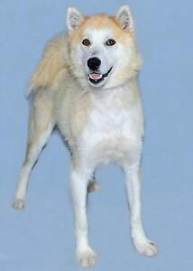 """Young Female Dog - Husky: """"Sunday"""""""