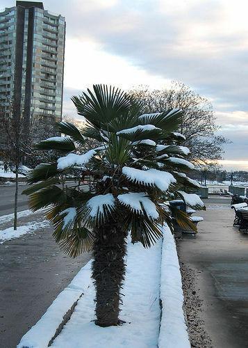 2 winterharte Wasch.-Palmen schnellwüchsige exotische Pflanzen im für den Garten