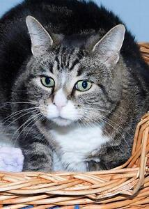 """Adult Male Cat - Tabby (Brown): """"Ted"""""""