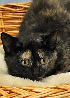 "Young Female Cat - Tortoiseshell: ""Misty"" Gatineau Ottawa / Gatineau Area Preview"