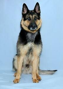 "Young Male Dog - German Shepherd Dog: ""Sergeant"""