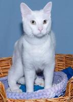 "Young Male Cat - Domestic Short Hair (White): ""Xavier"" Gatineau Ottawa / Gatineau Area Preview"