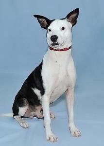 """Young Male Dog - Shepherd: """"Pinto"""""""