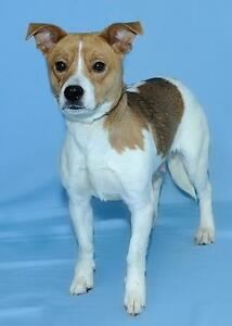 "Young Female Dog - Jack Russell Terrier: ""Lucie"""