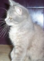 """Adult Female Cat - Domestic Medium Hair-gray: """"BUTTONS"""""""