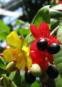 Ochna Serrulata (Mickey Mouse Plant)