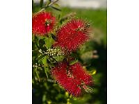 3 x Callistemon rigidus (Stiff Bottlebrush)