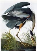 Audubon Bird Prints