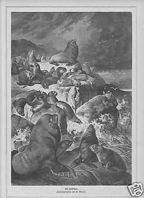 Seelöwen Ohrenrobben G. Mützel HOLZSTICH von 1881