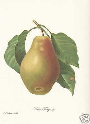 Birnbaum Blume (Birne Birnbaum - Pyrus communis FAKSIMILE Redoute 1833)
