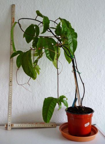 passiflora pflanze ebay. Black Bedroom Furniture Sets. Home Design Ideas