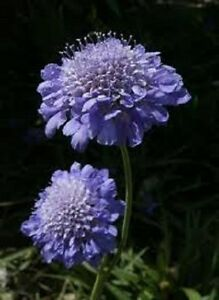 25-BLUE-SCABIOSA-PINCUSHION-FLOWER-SEEDS-PERENNIAL