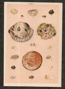 Antique Seashell Prints