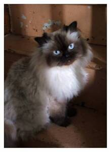 Female Seal Point Himalayan Cat free to suitable home only. Wentworth Falls Blue Mountains Preview