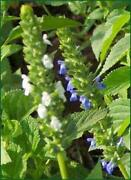 Salvia Hispanica