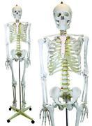 Anatomical Skeletons