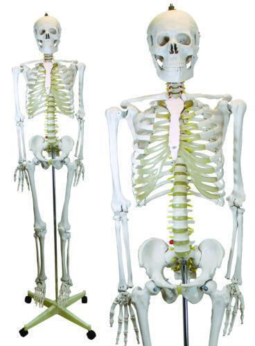 Anatomical Skeletons Ebay