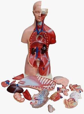 Torso männlich und weiblich, 23 Teile, 45cm Anatomie Modell