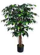 Ficus Benjamini