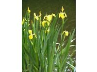Large pond basket with Yellow Iris and Water Lilies plants