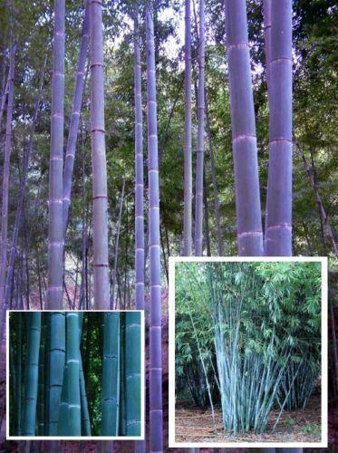 Blauer Bambus für den Garten Gartenbambus schnellwüchsige Hecken Sträucher Deko