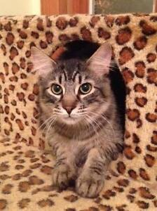 """Young Male Cat - Tabby - Brown: """"Pip"""""""