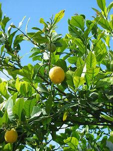 Zitronenbaum citrus limon Limone Zitrone Zitrus Pflanze 5cm essbare Früchte