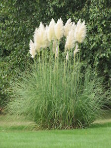 cortaderia selloana argentea herbe pampas hardy plante dans pot de 9cm ebay. Black Bedroom Furniture Sets. Home Design Ideas