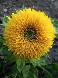 150-DWARF-TEDDY-BEAR-SUNFLOWER-Helianthus-Annuus-Flower-Seeds-Gift-Comb-S-H