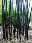 Black Bamboo Bamboo Seeds