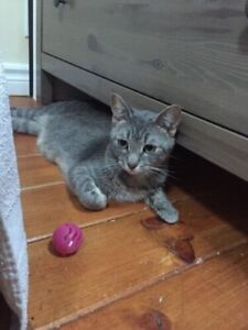 Female kitten young cat for adoption  Bengal cross