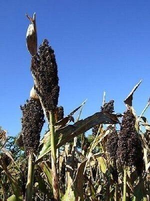 50 BLACK AMBER CANE SORGHUM / SUGAR CANE Sorghum Bicolor Seeds *Comb S/H