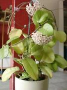 Hoya Pflanze