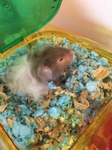 Siberian dwarf hamster to rehome, cage and accessories included