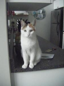 """Young Female Cat - Domestic Short Hair: """"Sal"""""""